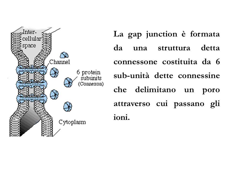 La gap junction è formata da una struttura detta connessone costituita da 6 sub-unità dette connessine che delimitano un poro attraverso cui passano g