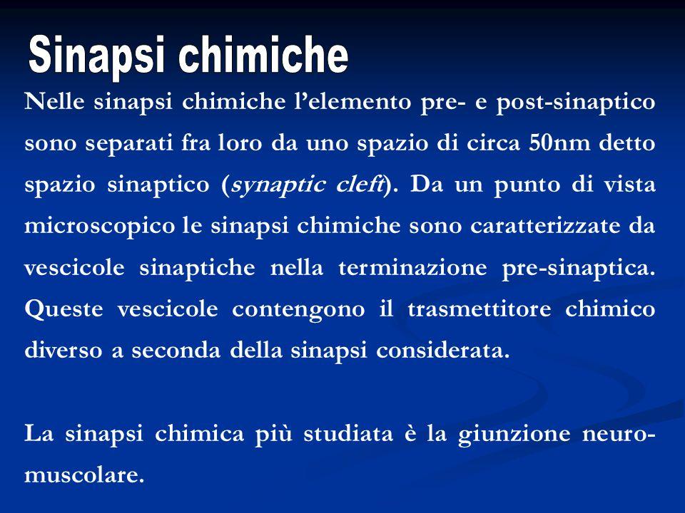 Nelle sinapsi chimiche lelemento pre- e post-sinaptico sono separati fra loro da uno spazio di circa 50nm detto spazio sinaptico (synaptic cleft). Da
