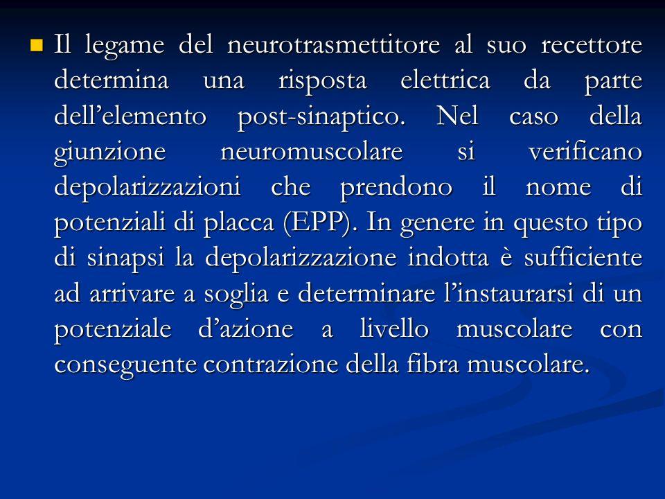 Il legame del neurotrasmettitore al suo recettore determina una risposta elettrica da parte dellelemento post-sinaptico. Nel caso della giunzione neur