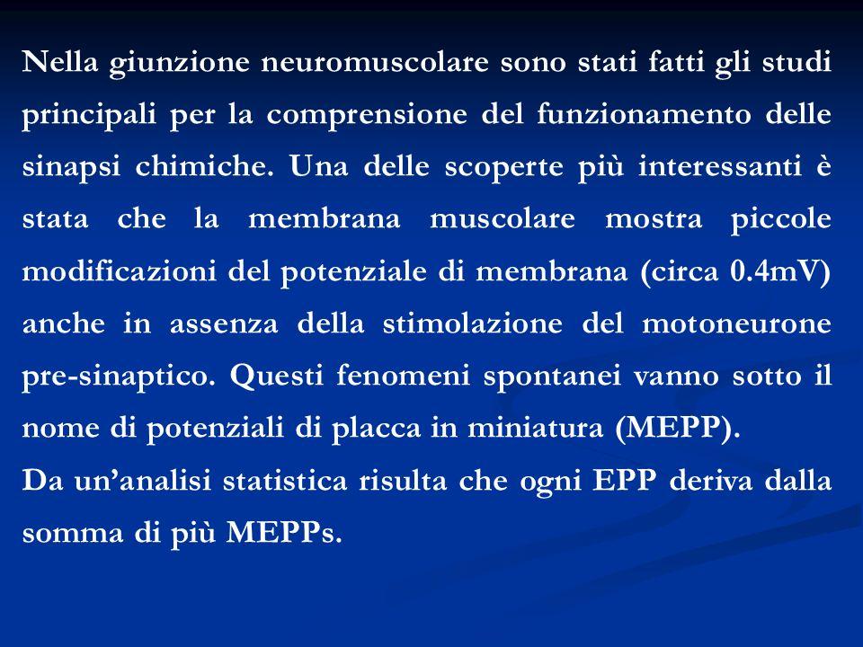 Nella giunzione neuromuscolare sono stati fatti gli studi principali per la comprensione del funzionamento delle sinapsi chimiche. Una delle scoperte