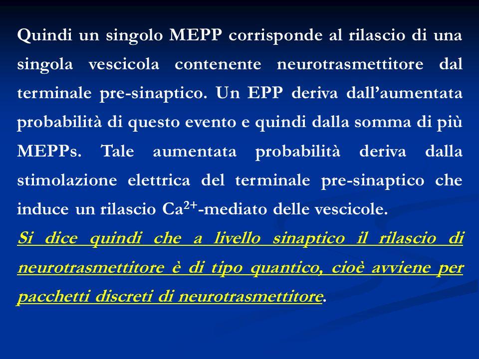 Quindi un singolo MEPP corrisponde al rilascio di una singola vescicola contenente neurotrasmettitore dal terminale pre-sinaptico. Un EPP deriva dalla