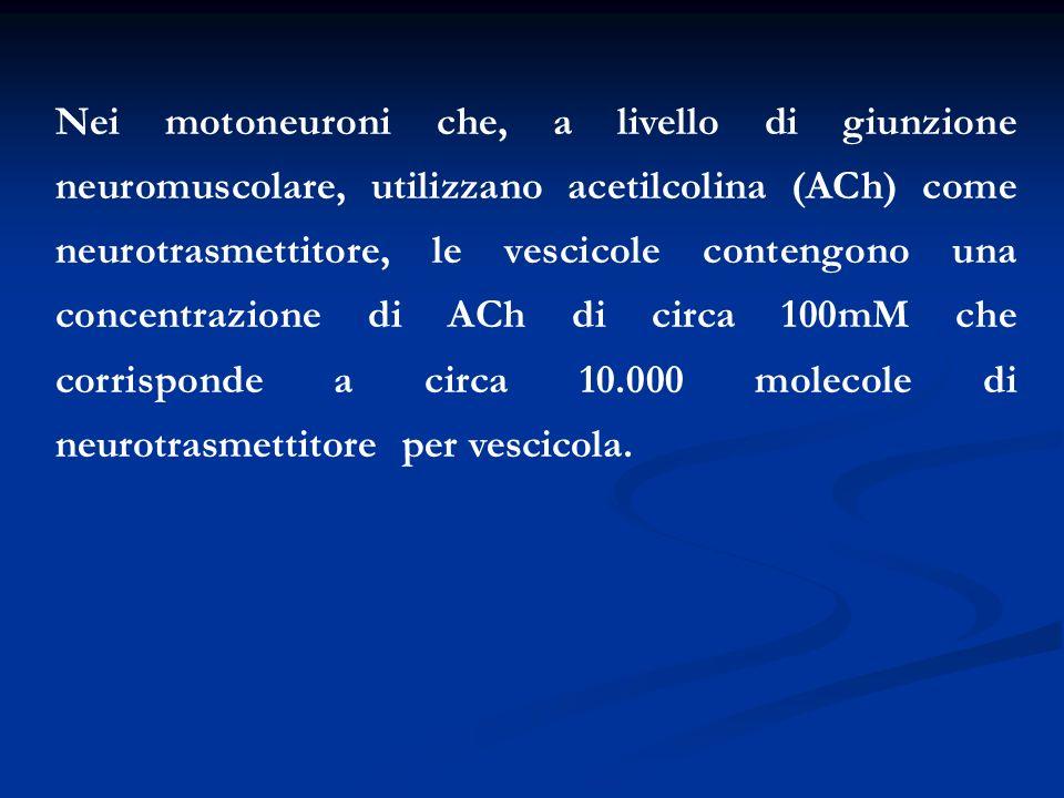 Nei motoneuroni che, a livello di giunzione neuromuscolare, utilizzano acetilcolina (ACh) come neurotrasmettitore, le vescicole contengono una concent