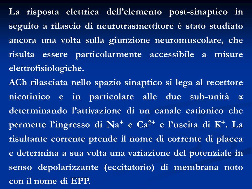 La risposta elettrica dellelemento post-sinaptico in seguito a rilascio di neurotrasmettitore è stato studiato ancora una volta sulla giunzione neurom