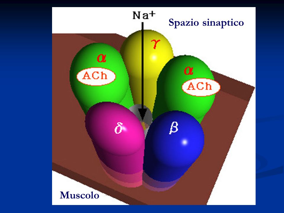 Spazio sinaptico Muscolo