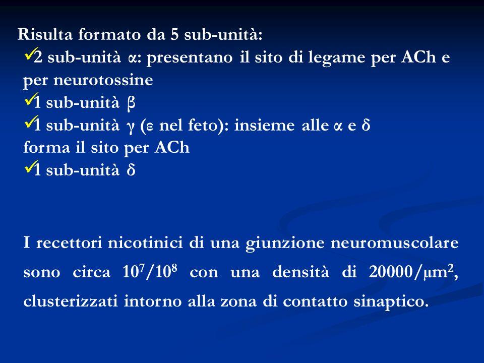 Risulta formato da 5 sub-unità: 2 sub-unità α: presentano il sito di legame per ACh e per neurotossine 1 sub-unità β 1 sub-unità γ (ε nel feto): insie
