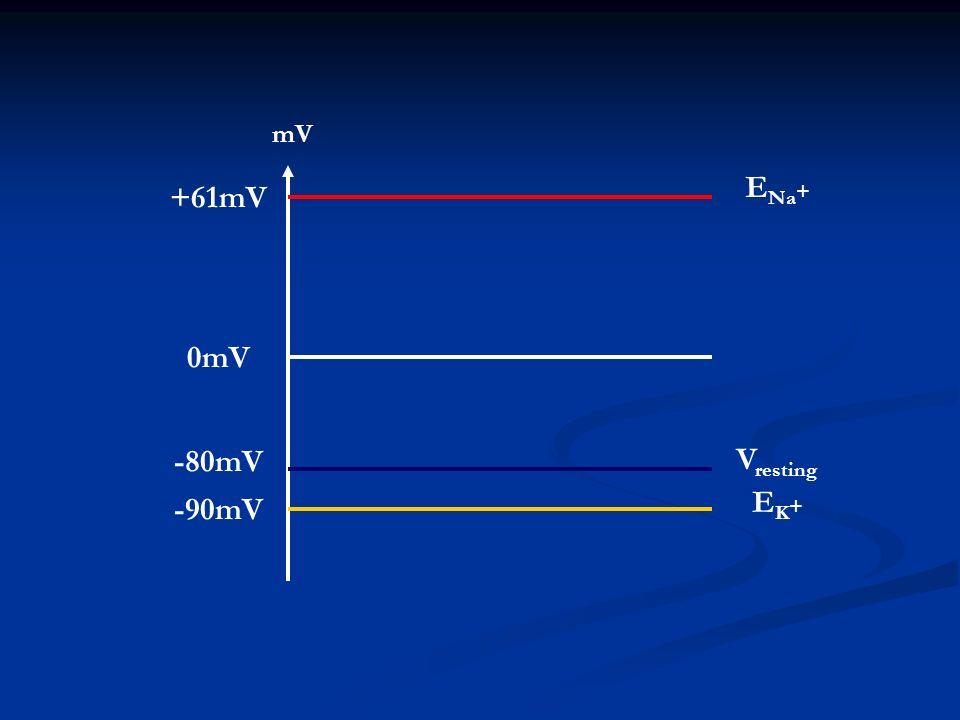mV E Na + +61mV 0mV -90mV -80mV EK+EK+ V resting