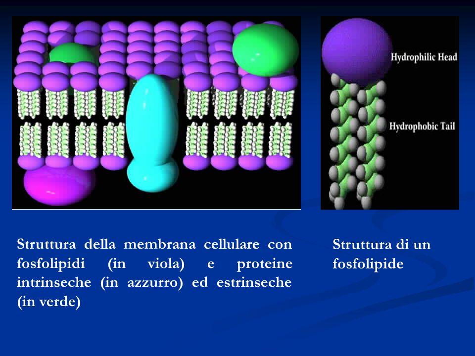 Struttura della membrana cellulare con fosfolipidi (in viola) e proteine intrinseche (in azzurro) ed estrinseche (in verde) Struttura di un fosfolipid