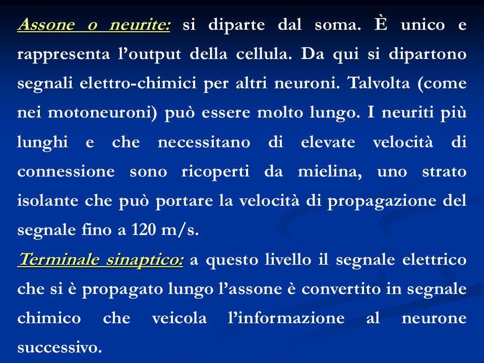 Assone o neurite: Assone o neurite: si diparte dal soma. È unico e rappresenta loutput della cellula. Da qui si dipartono segnali elettro-chimici per