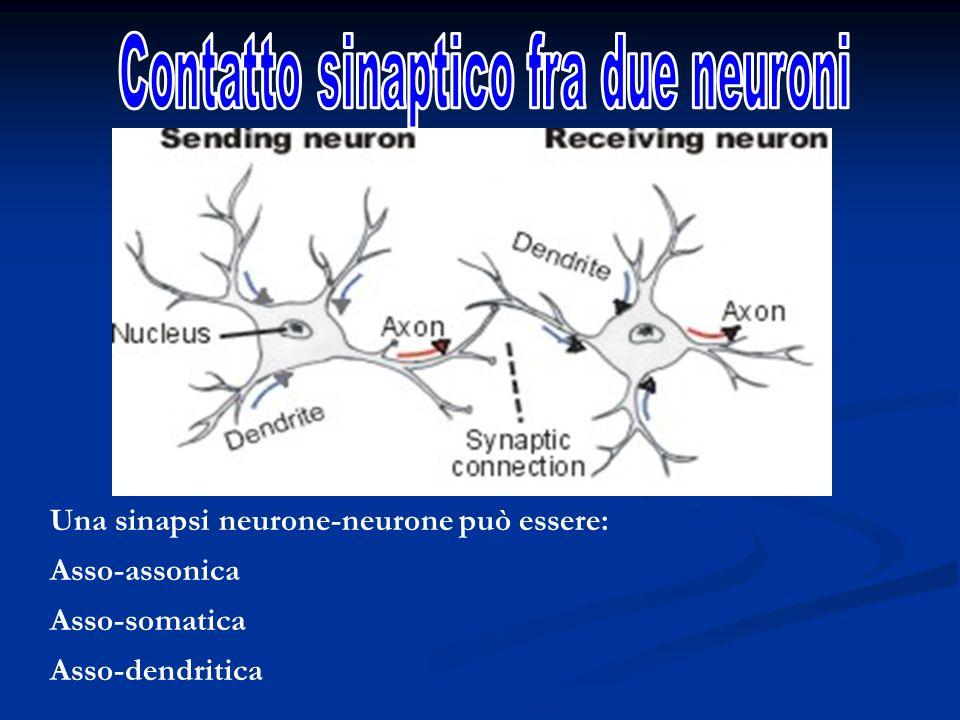 Una sinapsi neurone-neurone può essere: Asso-assonica Asso-somatica Asso-dendritica