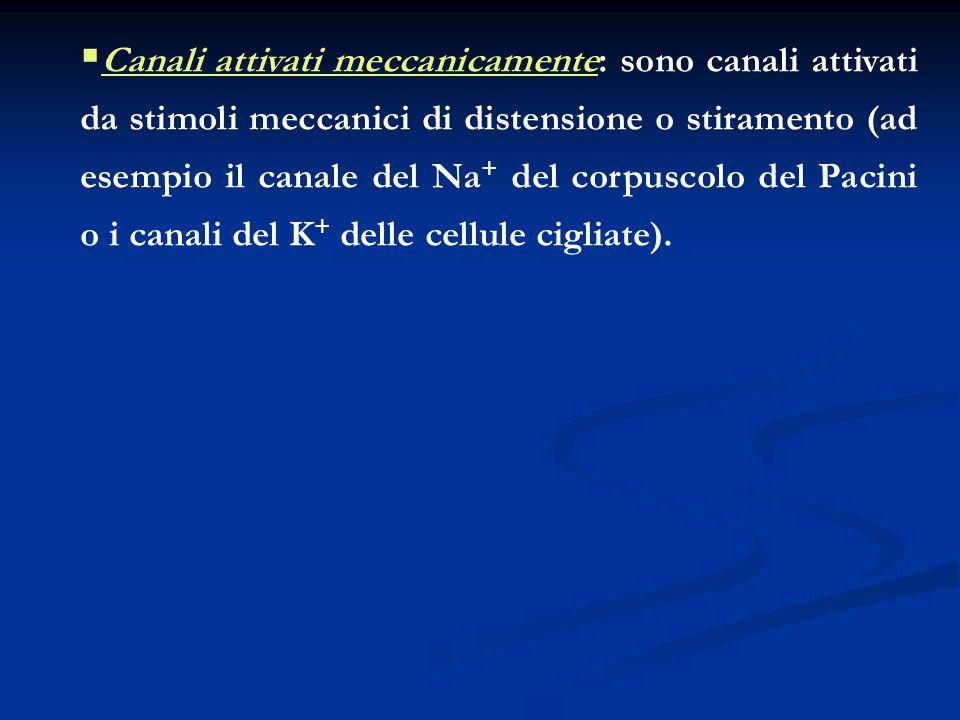 Canali attivati meccanicamente: sono canali attivati da stimoli meccanici di distensione o stiramento (ad esempio il canale del Na + del corpuscolo de