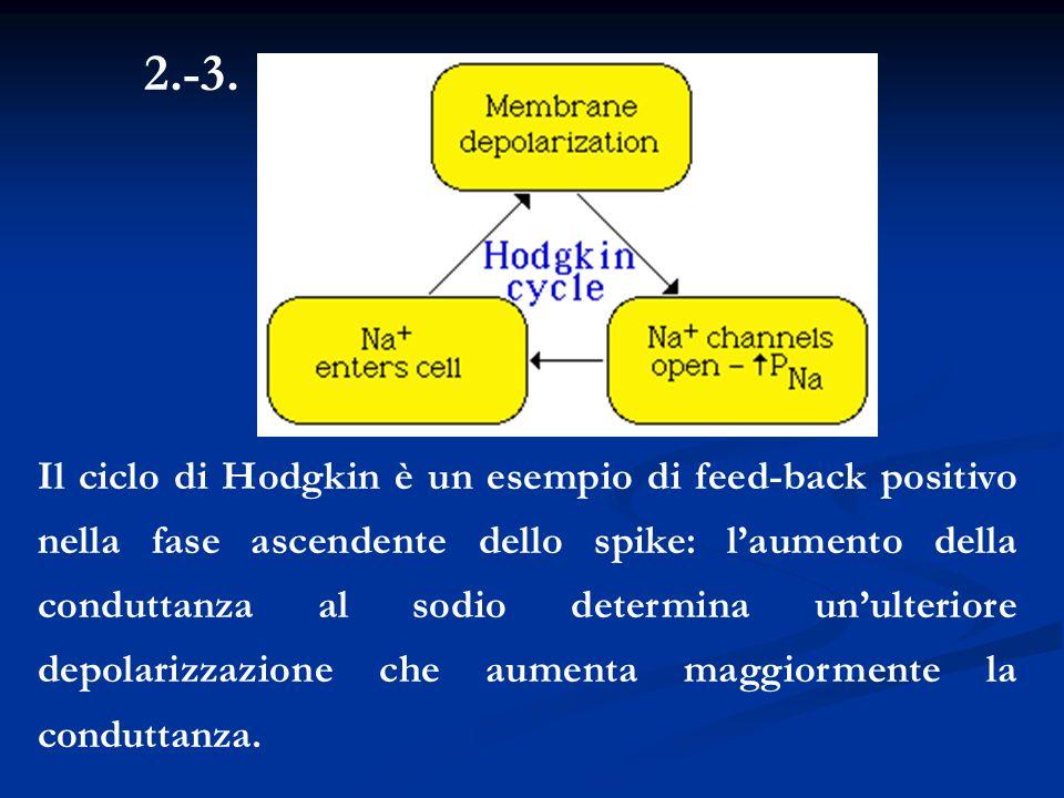 2.-3. Il ciclo di Hodgkin è un esempio di feed-back positivo nella fase ascendente dello spike: laumento della conduttanza al sodio determina unulteri