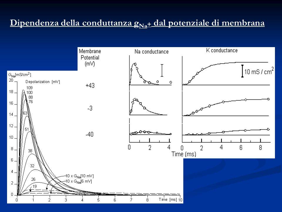 Dipendenza della conduttanza g Na + dal potenziale di membrana