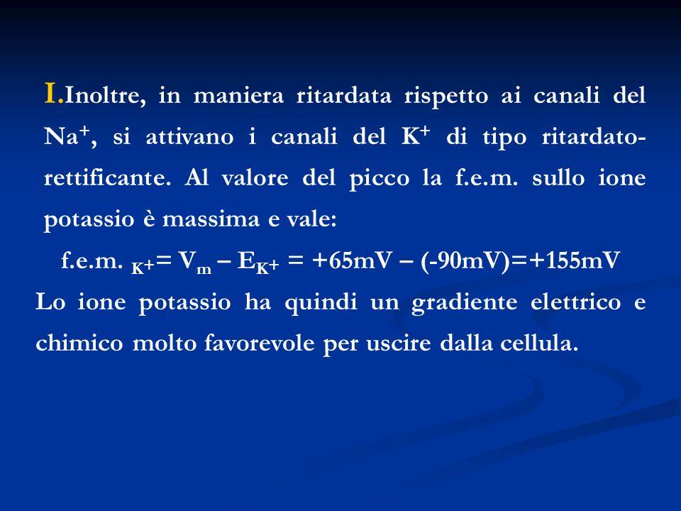 I. Inoltre, in maniera ritardata rispetto ai canali del Na +, si attivano i canali del K + di tipo ritardato- rettificante. Al valore del picco la f.e