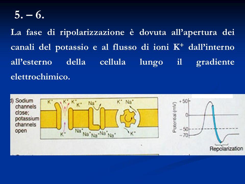 5. – 6. La fase di ripolarizzazione è dovuta allapertura dei canali del potassio e al flusso di ioni K + dallinterno allesterno della cellula lungo il
