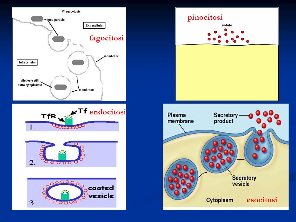 fagocitosi endocitosi pinocitosi esocitosi