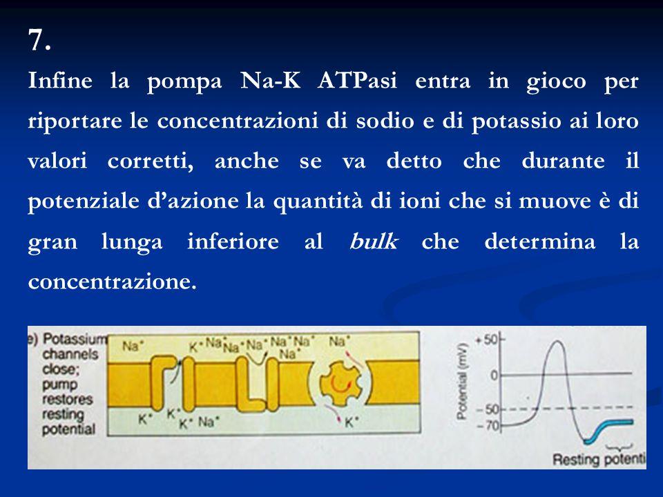 7. Infine la pompa Na-K ATPasi entra in gioco per riportare le concentrazioni di sodio e di potassio ai loro valori corretti, anche se va detto che du