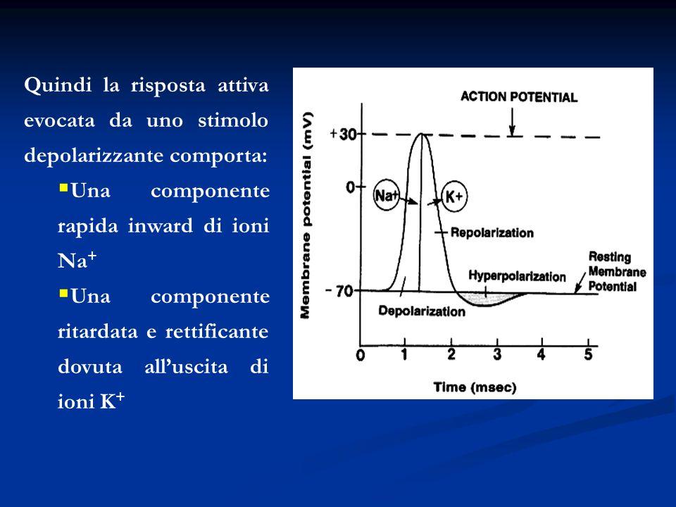 Quindi la risposta attiva evocata da uno stimolo depolarizzante comporta: Una componente rapida inward di ioni Na + Una componente ritardata e rettifi