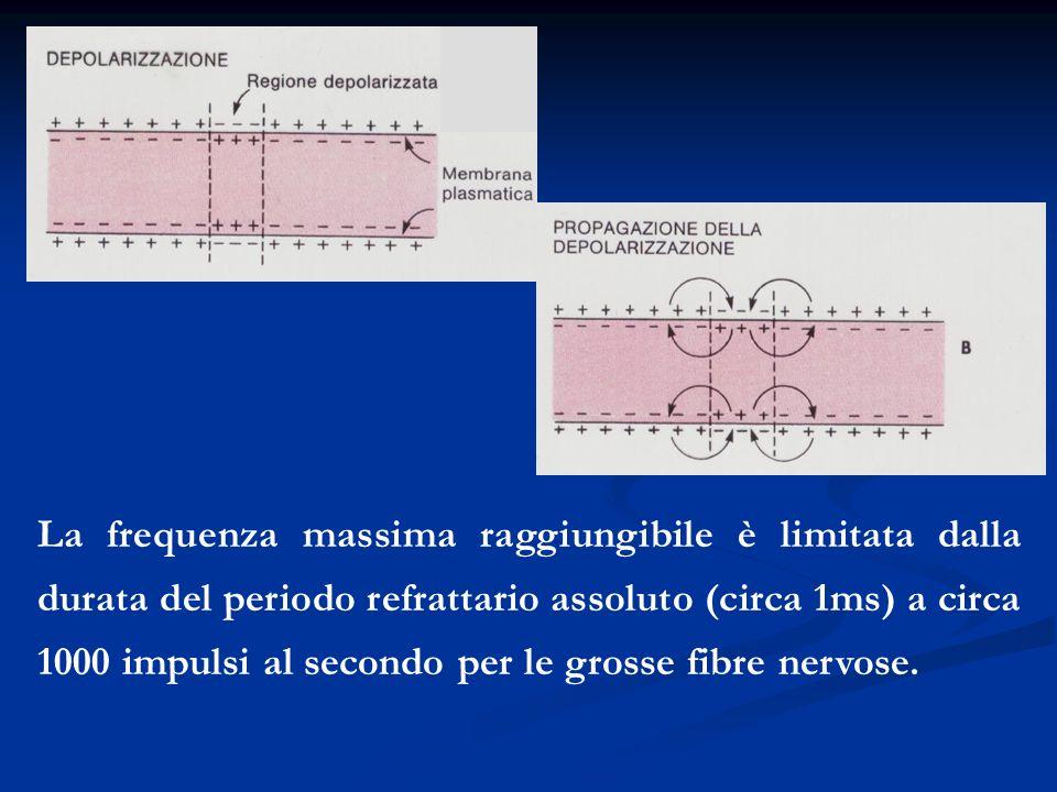 La frequenza massima raggiungibile è limitata dalla durata del periodo refrattario assoluto (circa 1ms) a circa 1000 impulsi al secondo per le grosse