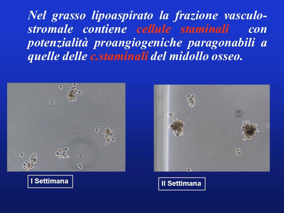 Nel grasso lipoaspirato la frazione vasculo- stromale contiene cellule staminali con potenzialità proangiogeniche paragonabili a quelle delle c.stamin