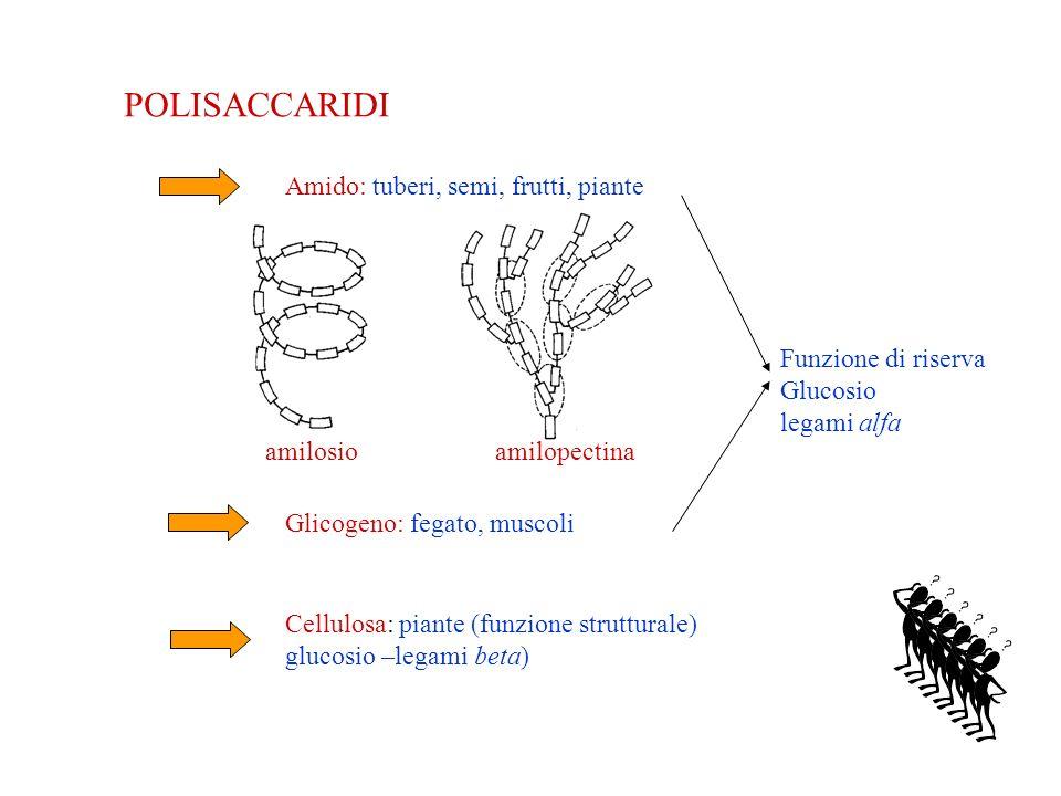 POLISACCARIDI Amido: tuberi, semi, frutti, piante Glicogeno: fegato, muscoli Cellulosa: piante (funzione strutturale) glucosio –legami beta) Funzione di riserva Glucosio legami alfa amilosioamilopectina