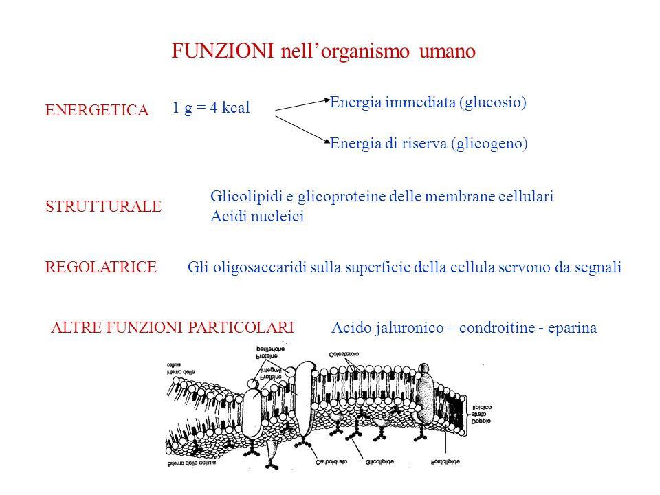 FUNZIONI nellorganismo umano ENERGETICA Energia immediata (glucosio) STRUTTURALE REGOLATRICE 1 g = 4 kcal Energia di riserva (glicogeno) Glicolipidi e glicoproteine delle membrane cellulari Acidi nucleici Gli oligosaccaridi sulla superficie della cellula servono da segnali ALTRE FUNZIONI PARTICOLARIAcido jaluronico – condroitine - eparina