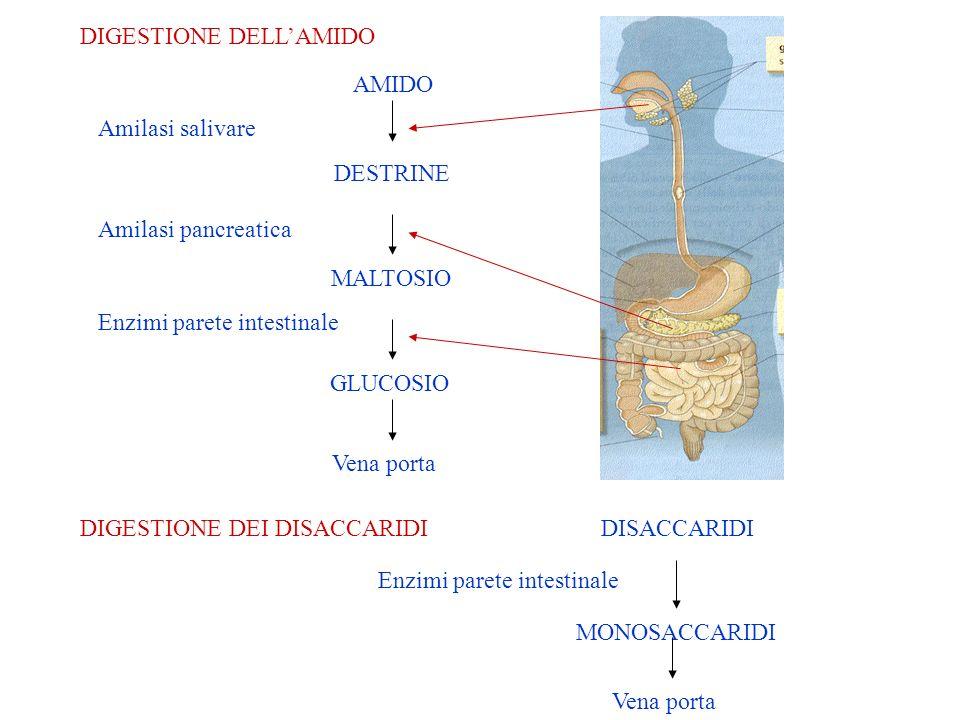 DIGESTIONE DELLAMIDO AMIDO DESTRINE MALTOSIO GLUCOSIO Vena porta Amilasi salivare Amilasi pancreatica Enzimi parete intestinale DIGESTIONE DEI DISACCARIDIDISACCARIDI MONOSACCARIDI Enzimi parete intestinale Vena porta