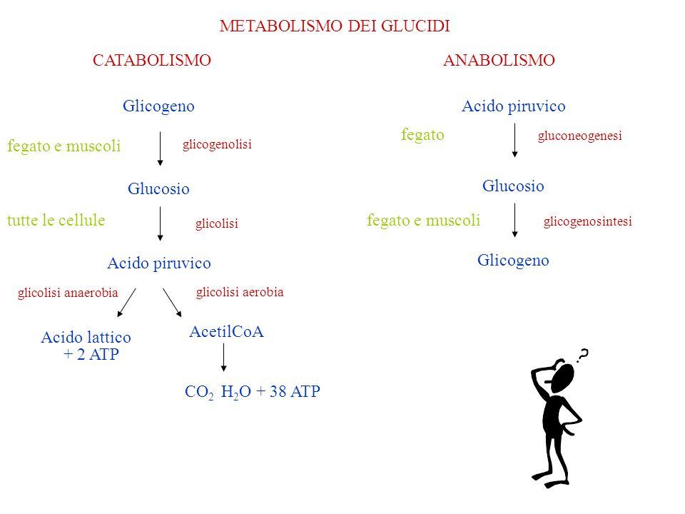 UTILIZZO DEI CARBOIDRATI DA PARTE DELLORGANISMO carboidrati della dietadigestioneglucosio Fruttosio, galattosionel fegatoglucosio glucosio respirazione cellulare energia C 6 H 12 O 6 + 6O 2 6CO 2 + 6H 2 O + energia glucosio in eccesso glicogeno lipidi