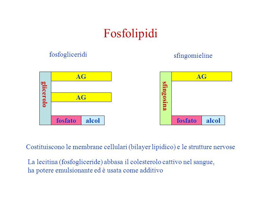 glicerolo AG fosfatoalcol fosfogliceridi sfingomieline sfingosina AG fosfatoalcol Costituiscono le membrane cellulari (bilayer lipidico) e le strutture nervose La lecitina (fosfogliceride) abbasa il colesterolo cattivo nel sangue, ha potere emulsionante ed è usata come additivo Fosfolipidi
