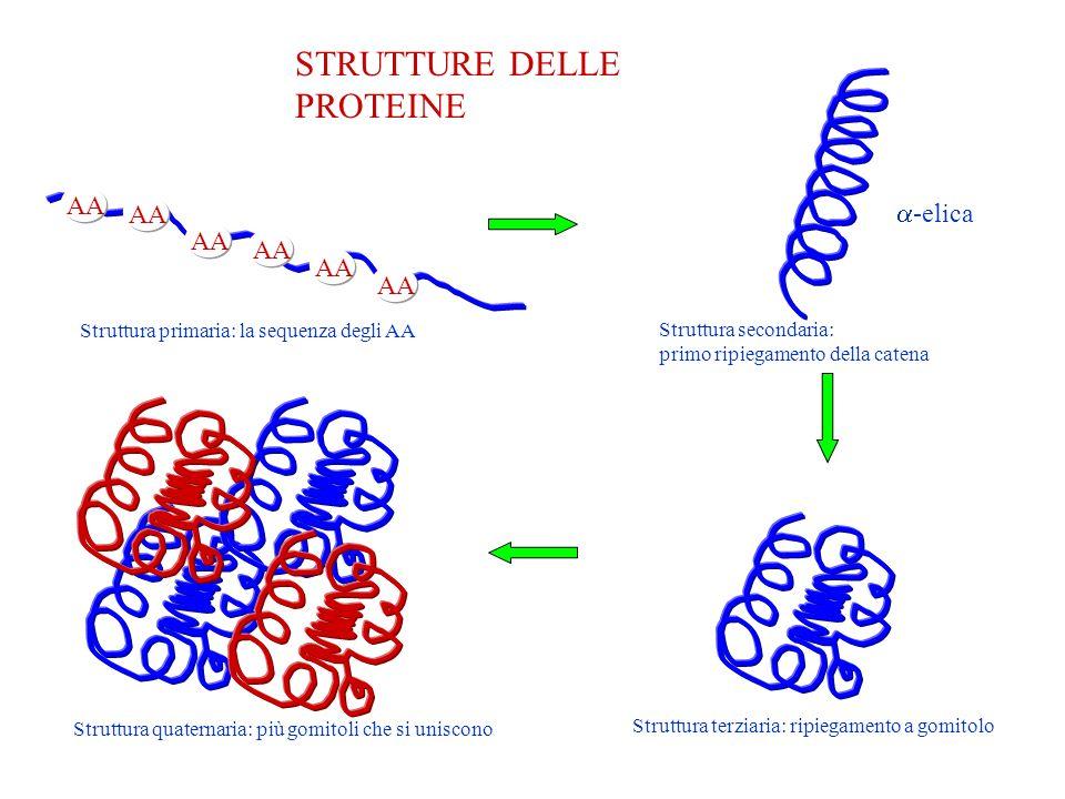 STRUTTURE DELLE PROTEINE AA Struttura primaria: la sequenza degli AA Struttura secondaria: primo ripiegamento della catena -elica Struttura terziaria: ripiegamento a gomitolo Struttura quaternaria: più gomitoli che si uniscono