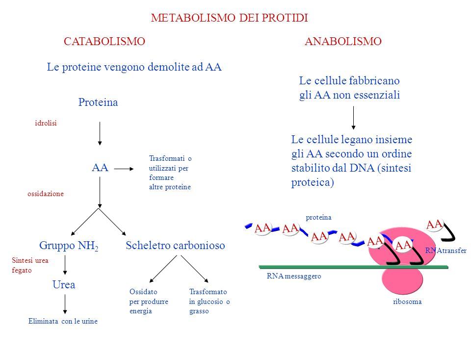 METABOLISMO DEI PROTIDI CATABOLISMOANABOLISMO Le cellule fabbricano gli AA non essenziali Le cellule legano insieme gli AA secondo un ordine stabilito dal DNA (sintesi proteica) AA RNA messaggero ribosoma AA RNAtransfer proteina Le proteine vengono demolite ad AA Proteina AA Trasformati o utilizzati per formare altre proteine idrolisi ossidazione Gruppo NH 2 Urea Eliminata con le urine Scheletro carbonioso Ossidato per produrre energia Trasformato in glucosio o grasso Sintesi urea fegato