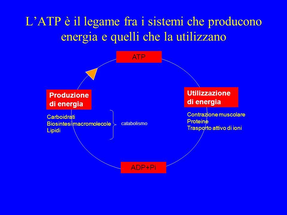 LATP è il legame fra i sistemi che producono energia e quelli che la utilizzano Contrazione muscolare Proteine Trasporto attivo di ioni Carboidrati Bi