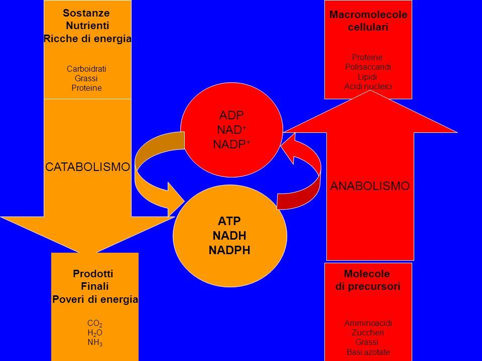 CATABOLISMO Sostanze Nutrienti Ricche di energia Carboidrati Grassi Proteine Prodotti Finali Poveri di energia CO 2 H 2 O NH 3 Macromolecole cellulari