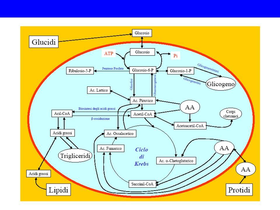 ADP ATP NAD(P) + NAD(P)H(H) + Catabolismo Anabolismo Anabolismo e catabolismo: complementarietà
