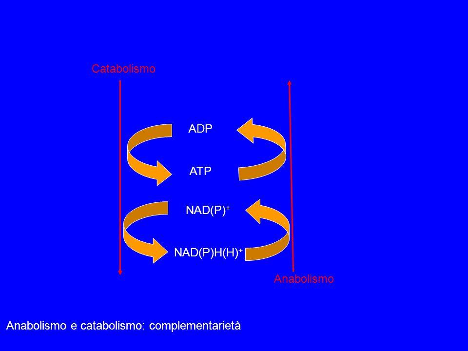 LATP è il legame fra i sistemi che producono energia e quelli che la utilizzano Contrazione muscolare Proteine Trasporto attivo di ioni Carboidrati Biosintesi macromolecole Lipidi ADP+Pi ATP Produzione di energia Utilizzazione di energia catabolismo
