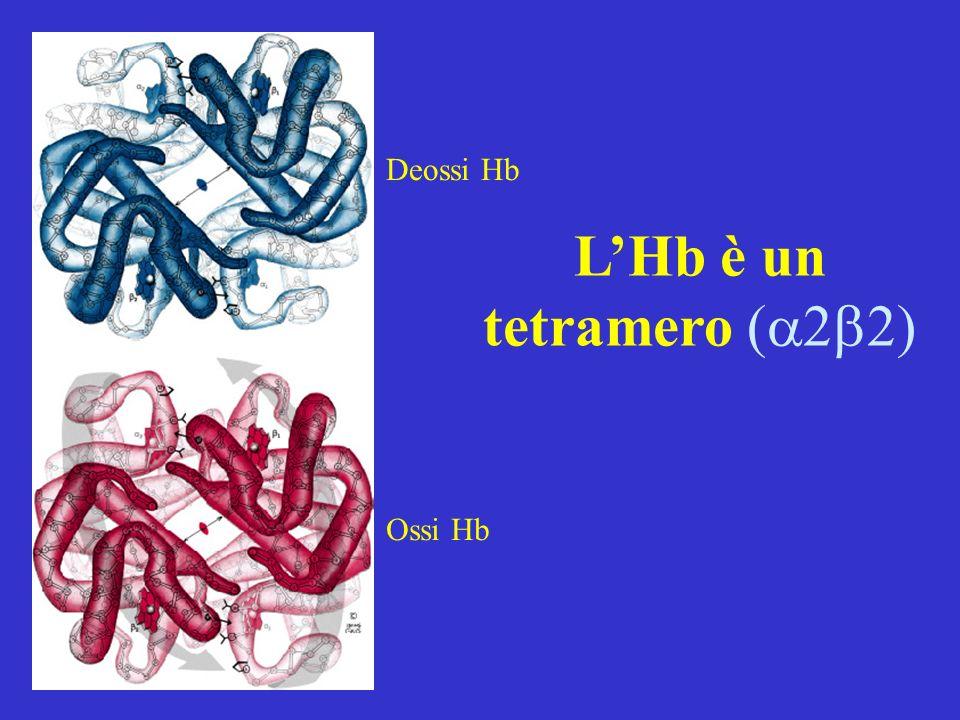 LHb è un tetramero Deossi Hb Ossi Hb