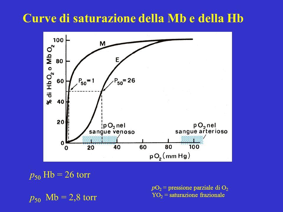 Curve di saturazione della Mb e della Hb p 50 Hb = 26 torr p 50 Mb = 2,8 torr pO 2 = pressione parziale di O 2 YO 2 = saturazione frazionale