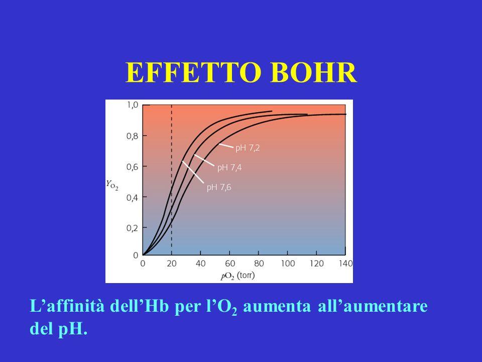 EFFETTO BOHR Laffinità dellHb per lO 2 aumenta allaumentare del pH.