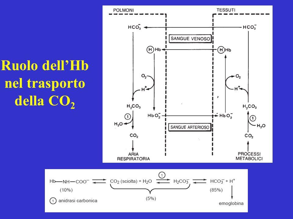 Ruolo dellHb nel trasporto della CO 2