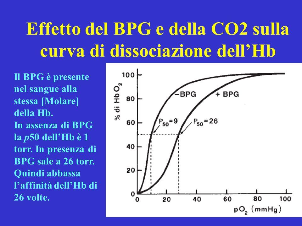 Effetto del BPG e della CO2 sulla curva di dissociazione dellHb Il BPG è presente nel sangue alla stessa [Molare] della Hb. In assenza di BPG la p50 d
