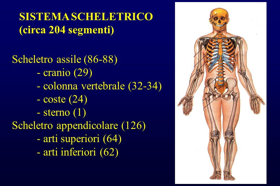 SISTEMA SCHELETRICO (circa 204 segmenti) Scheletro assile (86-88) - cranio (29) - colonna vertebrale (32-34) - coste (24) - sterno (1) Scheletro appen