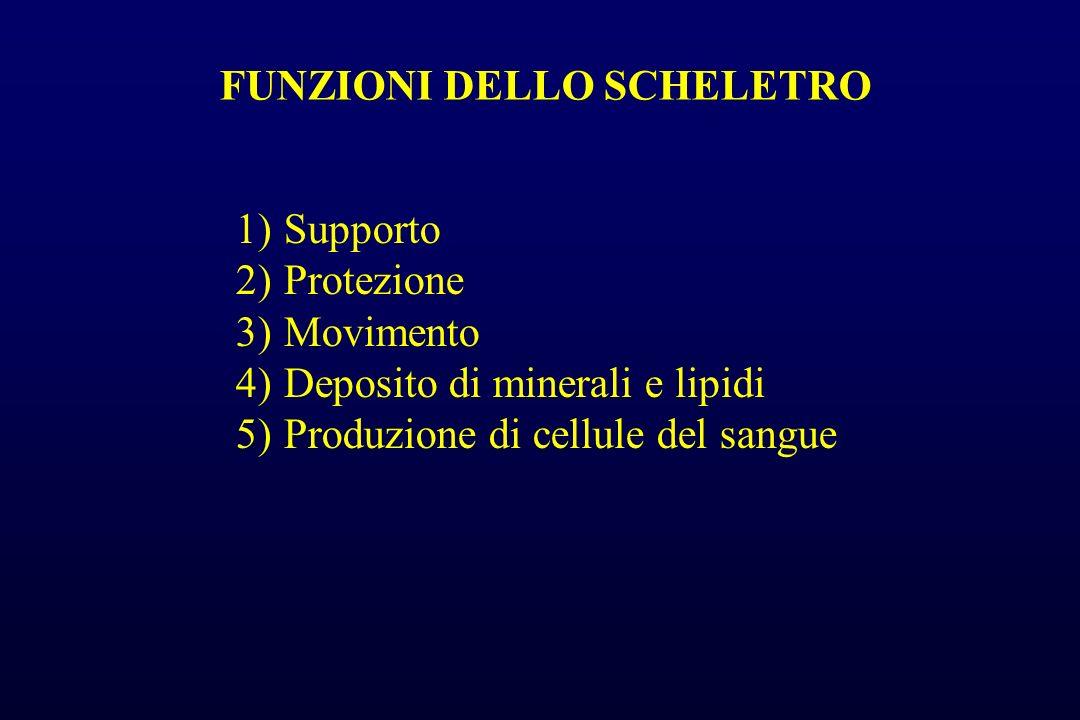 FUNZIONI DELLO SCHELETRO 1)Supporto 2)Protezione 3)Movimento 4)Deposito di minerali e lipidi 5)Produzione di cellule del sangue