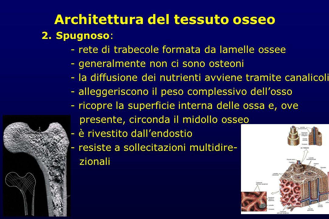 Architettura del tessuto osseo 2. Spugnoso: - rete di trabecole formata da lamelle ossee - generalmente non ci sono osteoni - la diffusione dei nutrie