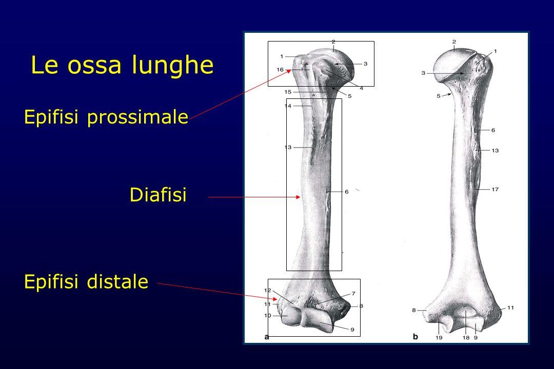 Le ossa lunghe Sezione della diafisi