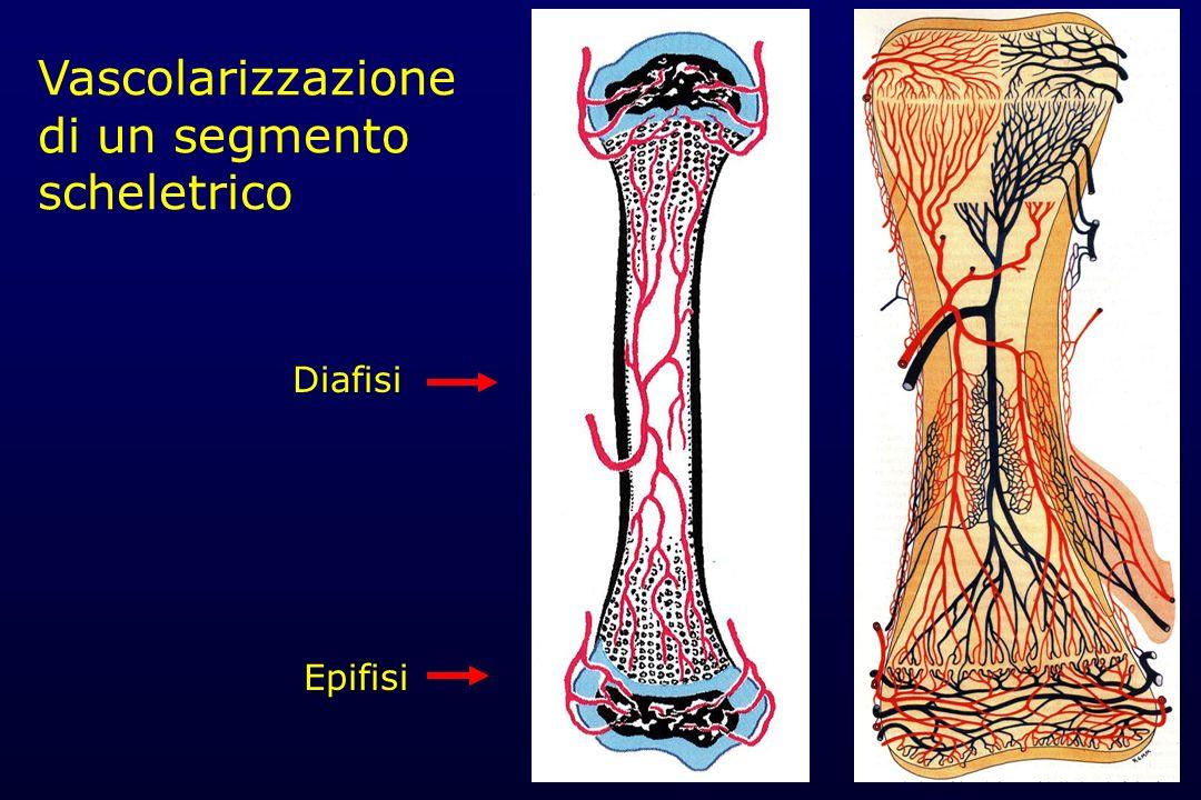 Vascolarizzazione di un segmento scheletrico Diafisi Epifisi