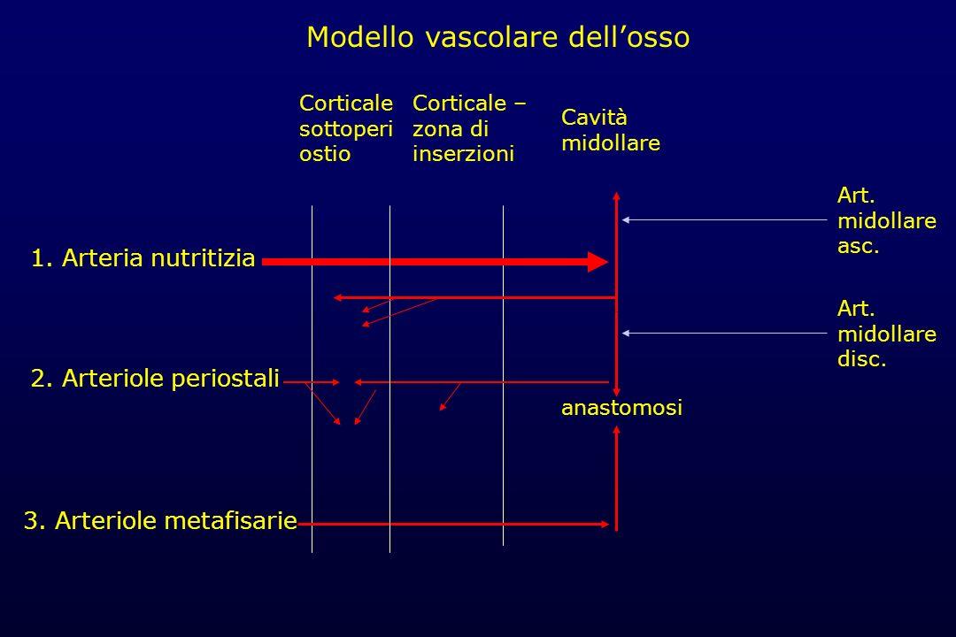 Modello vascolare dellosso 1. Arteria nutritizia 2. Arteriole periostali 3. Arteriole metafisarie Corticale – zona di inserzioni Cavità midollare anas