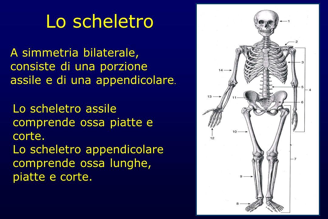 Lo scheletro Lo scheletro assile comprende ossa piatte e corte. Lo scheletro appendicolare comprende ossa lunghe, piatte e corte. A simmetria bilatera