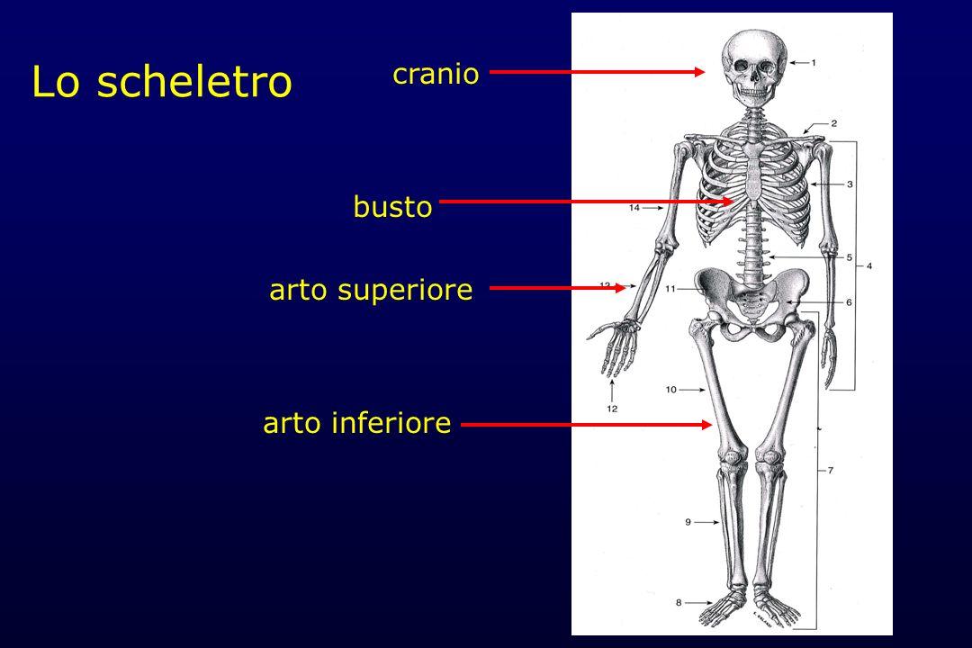 Il sistema scheletrico rappresenta il sostegno dellintero corpo, i segmenti scheletrici che lo compongono costituiscono limpalcatura che sostiene i tessuti molli e gli organi, ne determina i cambiamenti di posizione in toto o in parte mantenendone i rapporti ed impedendo deformazioni o compressioni incompatibili con la vita.