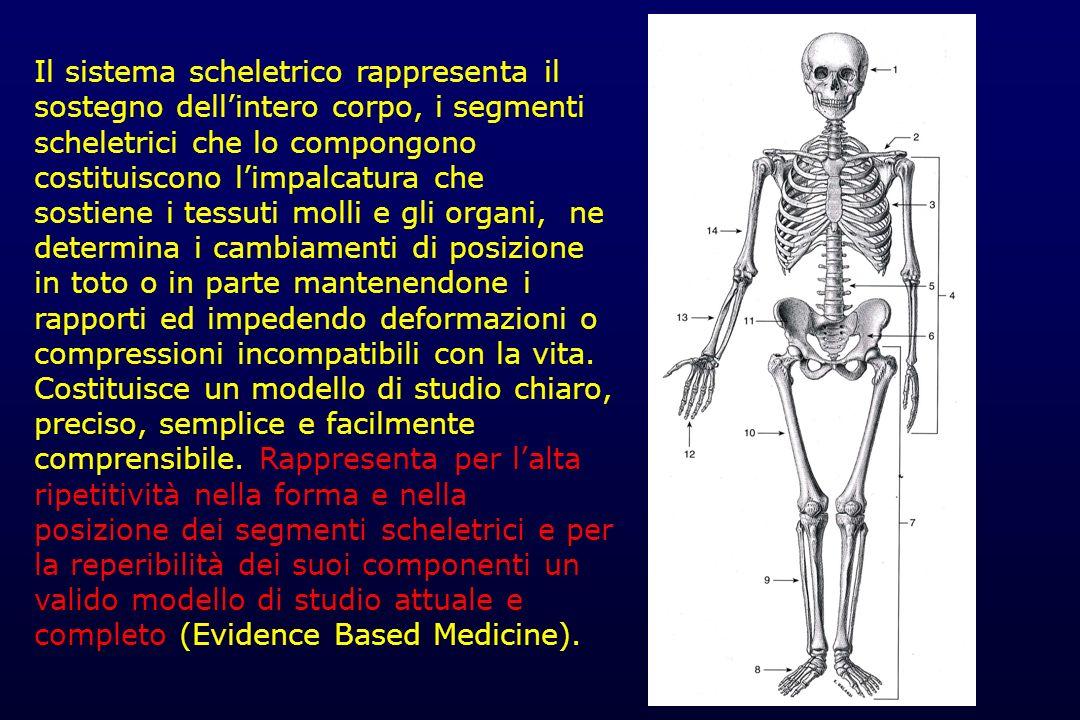 SISTEMA SCHELETRICO (circa 204 segmenti) Scheletro assile (86-88) - cranio (29) - colonna vertebrale (32-34) - coste (24) - sterno (1) Scheletro appendicolare (126) - arti superiori (64) - arti inferiori (62)