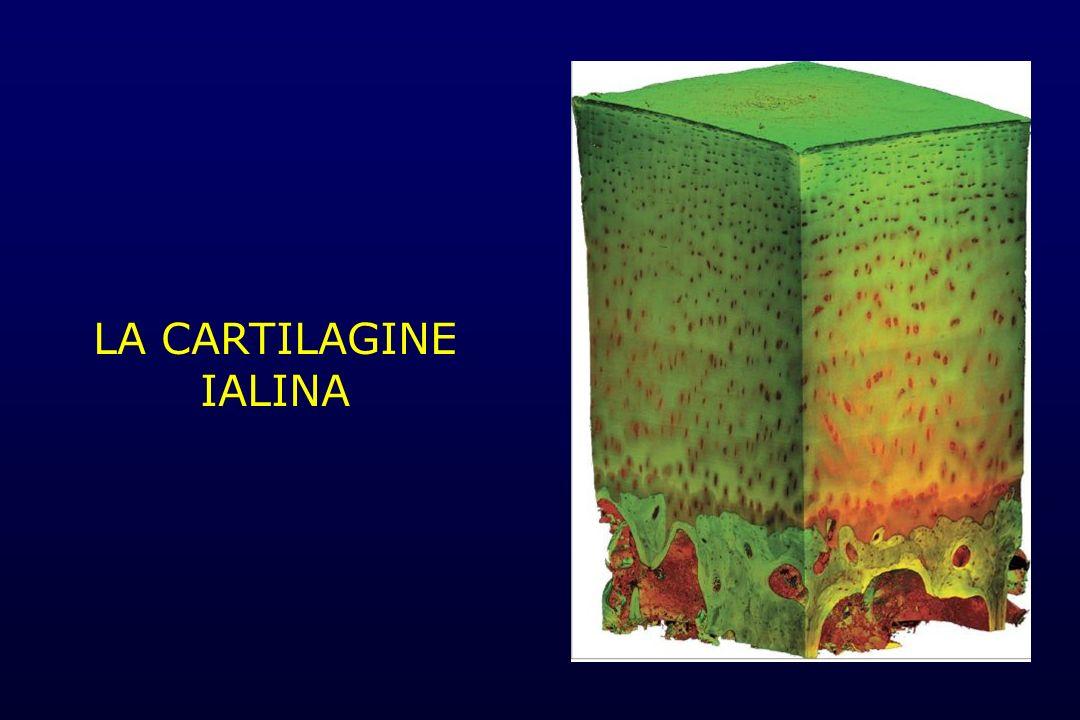 LA CARTILAGINE IALINA