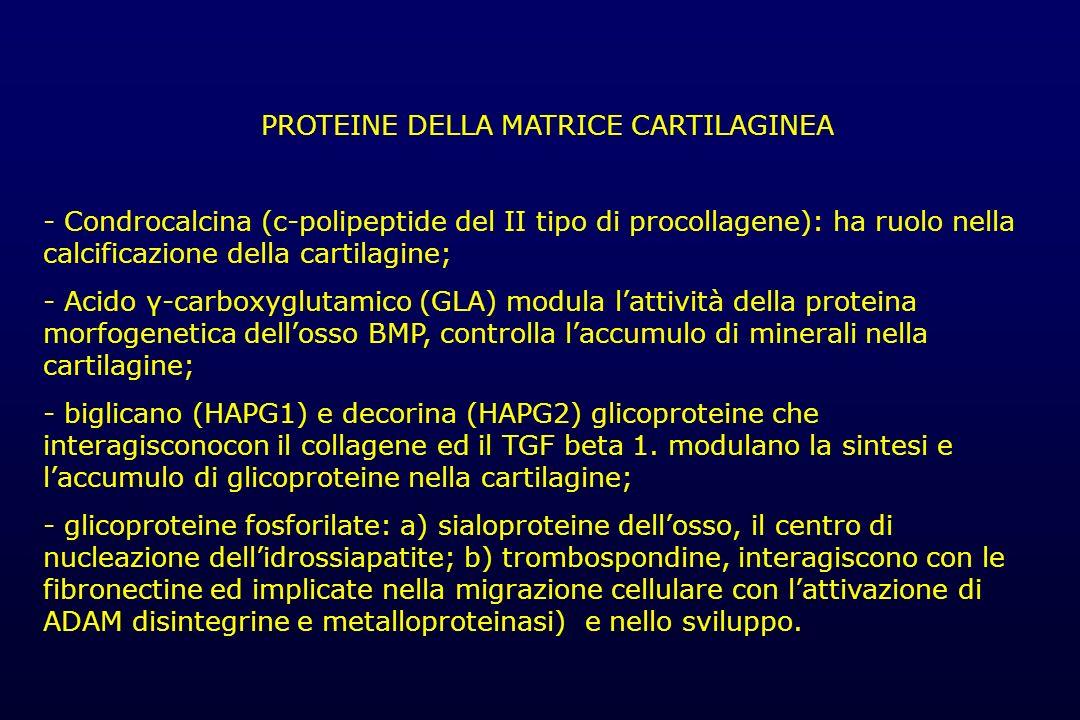PROTEINE DELLA MATRICE CARTILAGINEA - Condrocalcina (c-polipeptide del II tipo di procollagene): ha ruolo nella calcificazione della cartilagine; - Ac